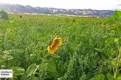 cover crop