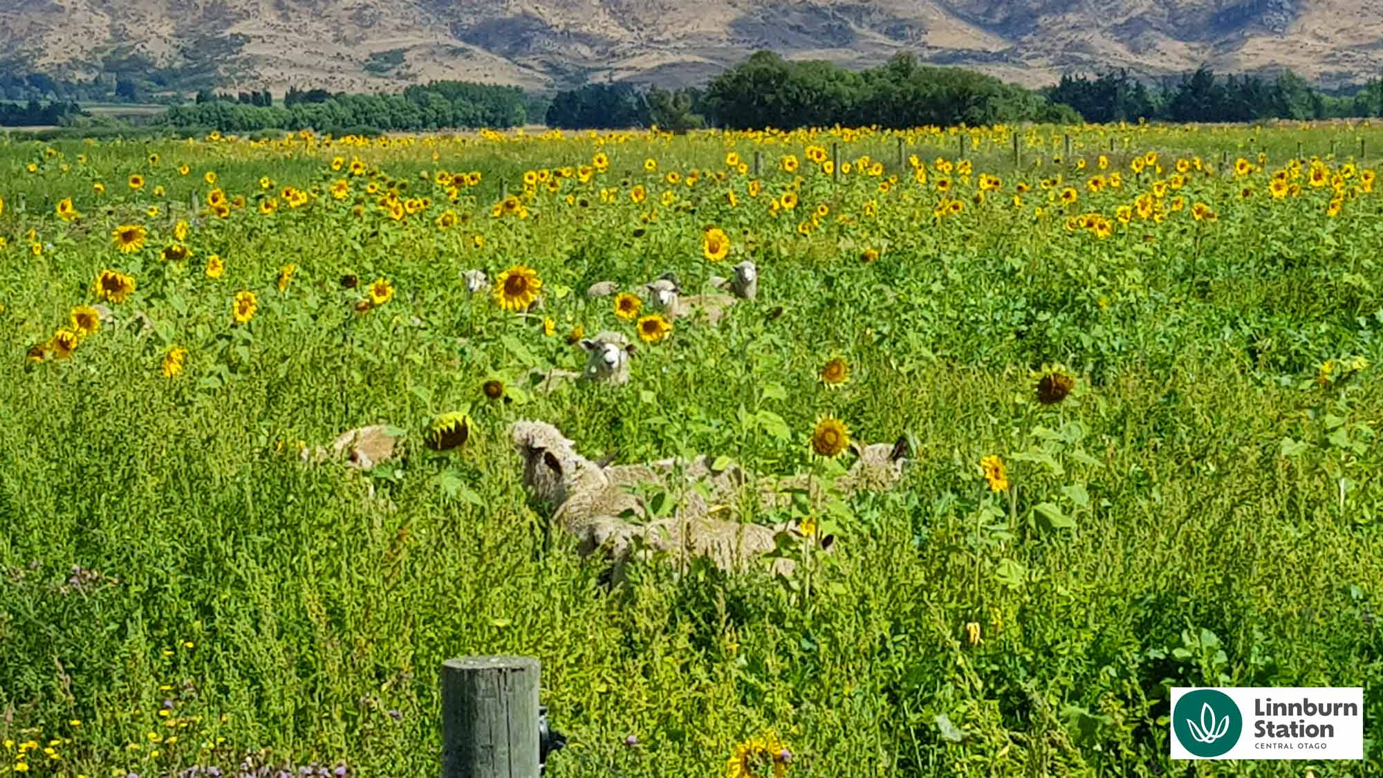 Lambs in Sunflowers