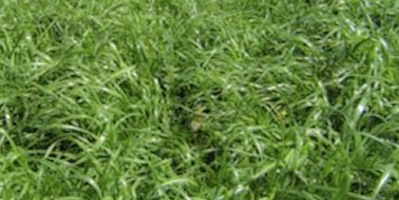 annual ryegrass