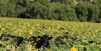 Steers in Sunflowers