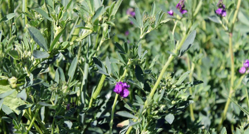 Lucerne cover crop