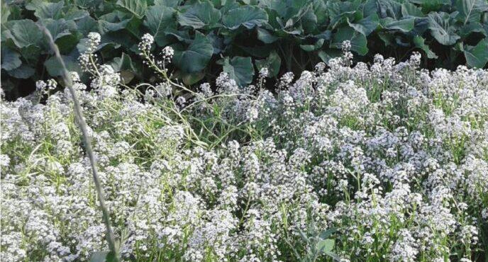 Alyssum cover crop