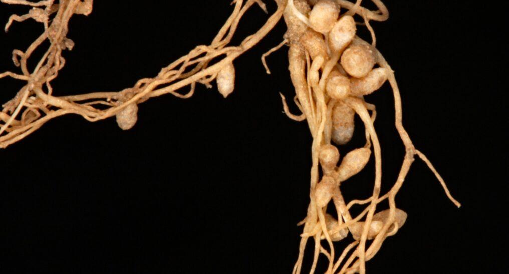 Clover root nodules