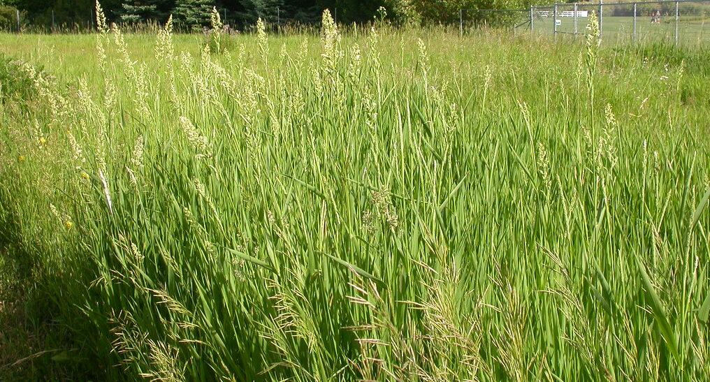 Phalaris cover crop