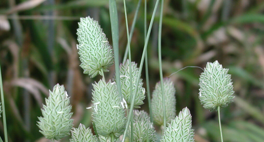Phalaris pasture flower