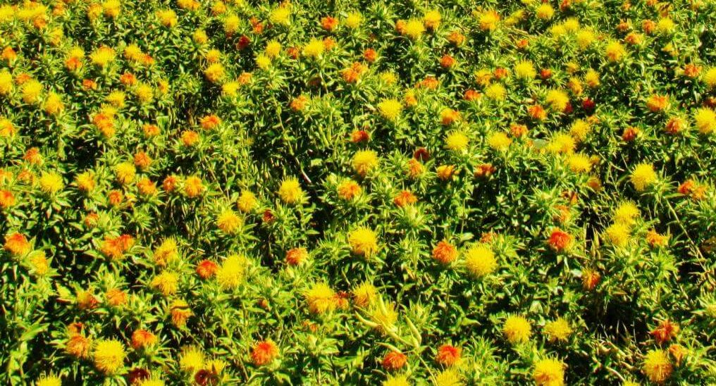 Safflower cover crop