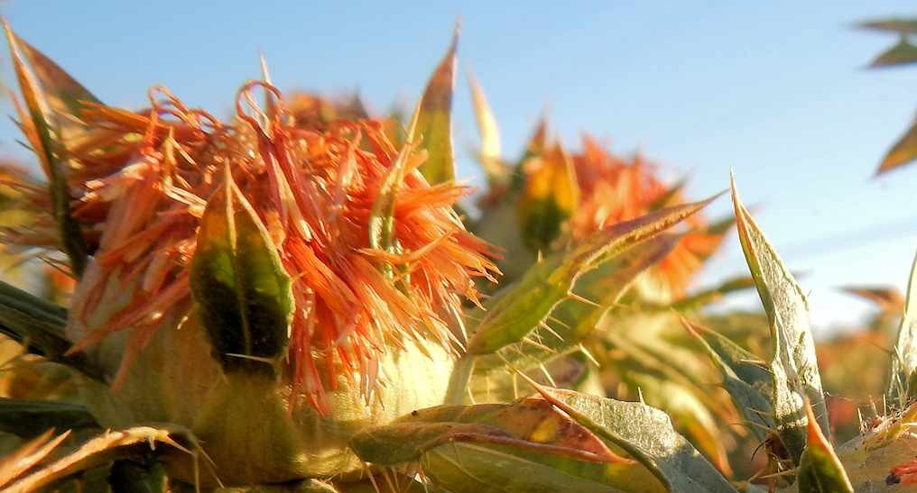 Safflower soil health