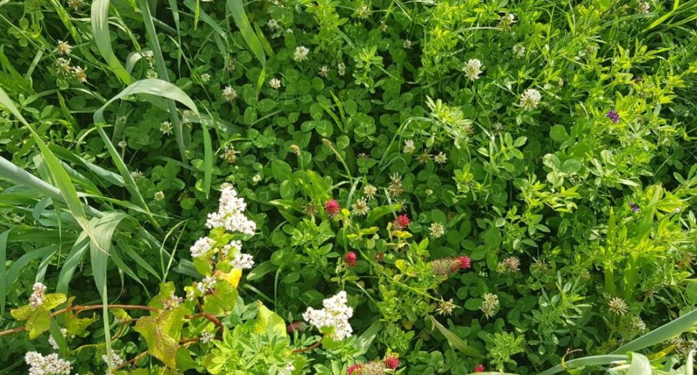 Strawberry clover cover crop