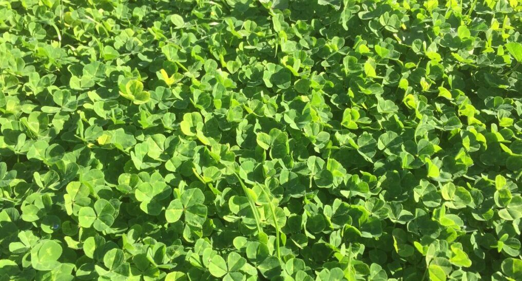 Subclover image