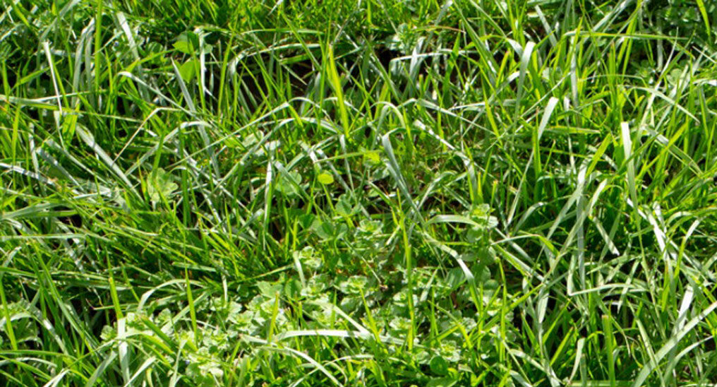 Tall fescue pasture