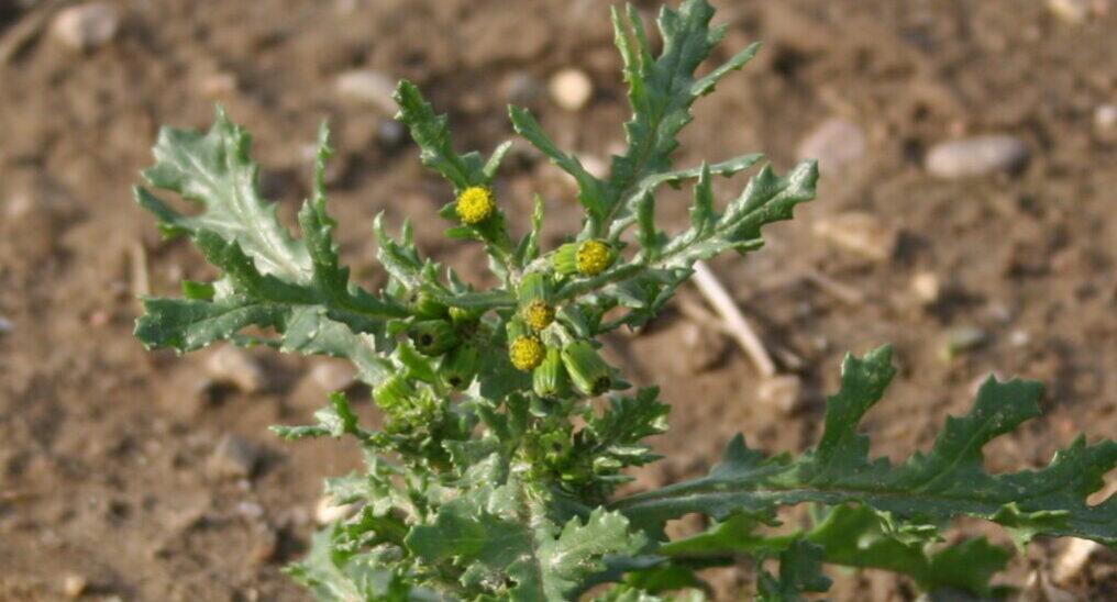 Common-groundsel-plant