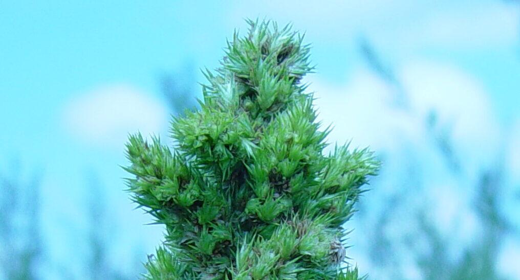 Pigweed