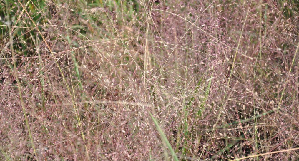 Witchgrass1