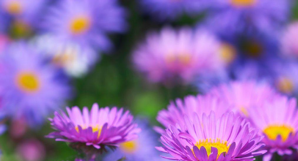aster-flower2