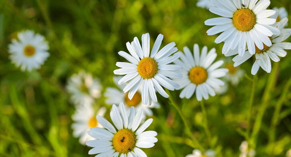 oxeye-daisies-2